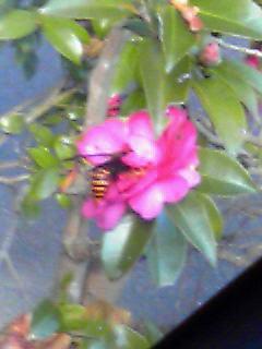 最強にデカい蜂